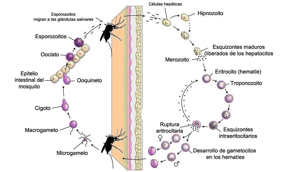 a Plasmodium malária fő szervezete