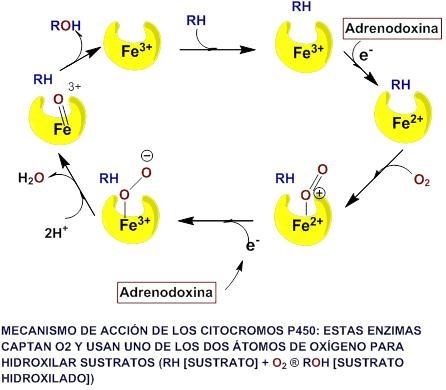 sintesis de esteroides en el ovario